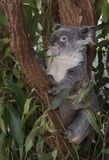 A Koala bear native to Australia. Royalty Free Stock Images