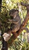 Koala bear Phascolarctos cinereus Stock Photos