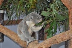 Koala bear Phascolarctos cinereus eating gum leaves Stock Images
