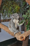 Koala bear Phascolarctos cinereus eating gum leaves Stock Photo