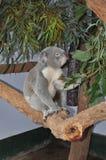 Koala bear Phascolarctos cinereus eating gum leaves Royalty Free Stock Image