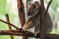 Koala Bear or Phascolarctos cinereus, sitting on branch with back to camera. Koala Bear or Phascolarctos cinereus, sitting on branch with with front paws resting royalty free stock images
