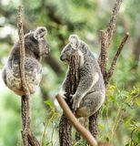 Koala Bear or Phascolarctos cinereus, sitting on tree branch. Chatting to another Koala stock photography