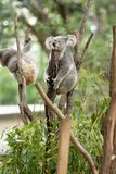 Koala Bear or Phascolarctos cinereus, sitting on tree branch. With head resting on branch stock photography