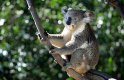 Koala Bear, San Diego Stock Photo