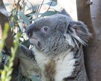 Koala Bear - Side View. Koala Bear in Eucalyptus tree - side view Stock Photos