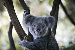 Koala bear sitting on the branch. Looking directly stock images