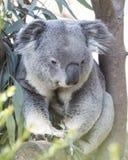 Koala Bear. Sitting in Eucalyptus tree Royalty Free Stock Image