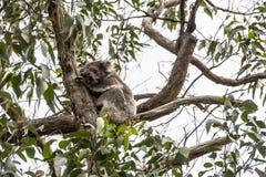 Koala Bear. Sitting in a eucalytus tree in Southern Australia near the Great Ocean Road stock photos
