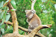 Koala bear sitting in tree with natural background stock image