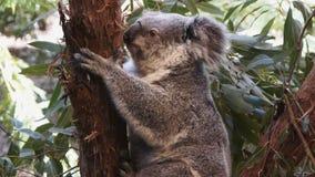 Koala bear stock video
