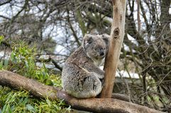 a koala bear is sitting on the tree stock photos