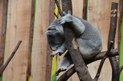 Koala Bear Sitting up in a Tree Branch royalty free stock photography