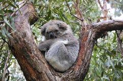 a koala bear is sitting on the tree royalty free stock photography