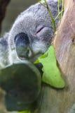 Koala Bear Stock Image