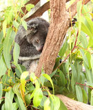 Koala bear sleeping. Koala bear phascolarctos cinereus,  sleeping in gum tree Royalty Free Stock Image
