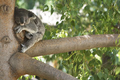 Koala Bear Sleeping in a tree. Stock Photos