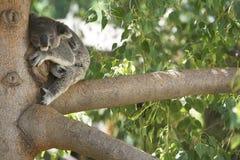 Koala Bear Sleeping in a tree. Stock Photos