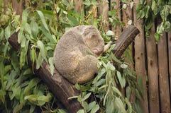Koala. A Koala bear sleeping on the tree royalty free stock image