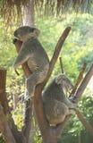 Koala. Bear sleeping on the tree royalty free stock photography