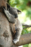 Koala Bear sleeping in a tree. With a green leafy blurred background Royalty Free Stock Images