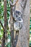 Koala Bear sleeping in tree stock photos