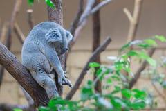 Koala bear sleeping on tree in forest. Stock Photos