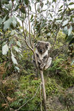 Koala Bear in Australia Royalty Free Stock Image