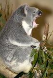 Koala bear snarling , australia. Close up of australian koala bear snarling, australia stock images
