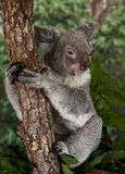 Koala Bear. Is a thickset arboreal marsupial herbivore native to Australia, and the only extant representative of the family Phascolarctidae. The koala is found royalty free stock image