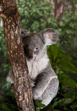 Koala Bear. Is a thickset arboreal marsupial herbivore native to Australia, and the only extant representative of the family Phascolarctidae. The koala is found Royalty Free Stock Photos