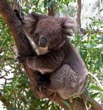 Koala Bear in tree. Close up of Koala Bear in Australian Eucalyptus tree Stock Images