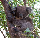 Koala Bear in tree royalty free stock photos