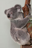 Koala Bear in a tree Royalty Free Stock Photos