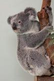 Koala Bear in a tree. Australian Koala Bear hanging on to a tree royalty free stock photos