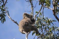 Koala bear in the tree. A koala bear in tree Stock Images