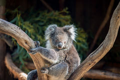 Koala bear in the tree Stock Image