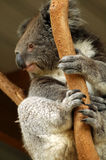 Koala bear in tree Stock Photography