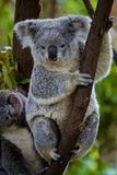Koala bear in a tree. Two koalas in a tree, facing forwards, one sitting one standing Royalty Free Stock Photo