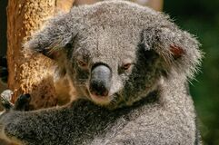 Koala Bear on Tree during Daytime Royalty Free Stock Photo