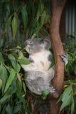 Koala bear on tree. Royalty Free Stock Photography