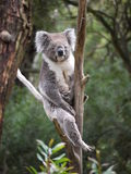 Koala Bear In Tree Fork Stock Image