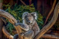 Koala bear in the tree Royalty Free Stock Photo
