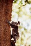 Koala Bear on a tree Stock Images