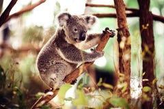 Koala Bear on a tree Royalty Free Stock Images