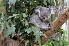 Koala bear on a tree. Koala bear resting on a tree stock image