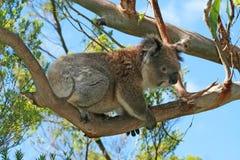 Koala Bear in the wild climbing in the eucalyptus trees on Cape Otway in Victoria Australia Stock Image