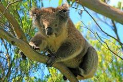 Koala Bear in the wild climbing in the eucalyptus trees on Cape Otway in Victoria Australia Royalty Free Stock Photo