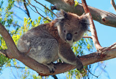 Koala Bear in the wild climbing in the eucalyptus trees on Cape Otway in Victoria Australia. AUS Royalty Free Stock Photography
