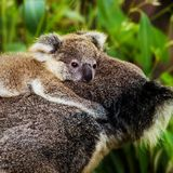 Koala bear in the zoo Stock Images